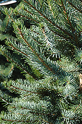 Bruns Spruce (Picea omorika 'Bruns') at Millcreek Nursery Ltd