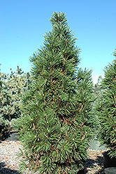 Columnar Mugo Pine (Pinus mugo 'Columnaris') at Millcreek Nursery Ltd