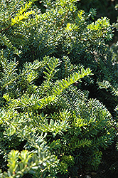Emerald Spreader Yew (Taxus cuspidata 'Emerald Spreader') at Millcreek Nursery Ltd