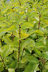 Prairie Fire Dogwood (Cornus alba 'Prairie Fire') at Millcreek Nursery Ltd