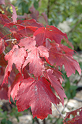Scarlet Jewel™ Red Maple (Acer rubrum 'Bailcraig') at Millcreek Nursery Ltd