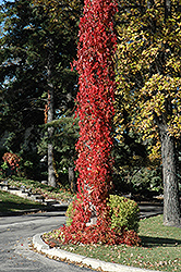 Virginia Creeper (Parthenocissus quinquefolia) at Millcreek Nursery Ltd