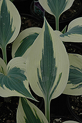 Blue Ivory Hosta (Hosta 'Blue Ivory') at Millcreek Nursery Ltd