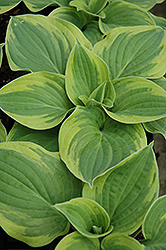 Wide Brim Hosta (Hosta 'Wide Brim') at Millcreek Nursery Ltd