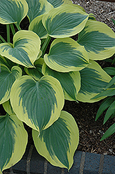 Liberty Hosta (Hosta 'Liberty') at Millcreek Nursery Ltd