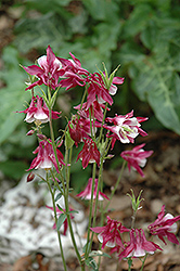 Biedermeier Red And White Columbine (Aquilegia 'Biedermeier Red And White') at Millcreek Nursery Ltd