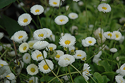 Rominette White English Daisy (Bellis perennis 'Rominette White') at Millcreek Nursery Ltd