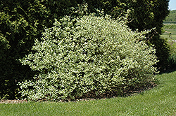 Silver and Gold Dogwood (Cornus sericea 'Silver and Gold') at Millcreek Nursery Ltd