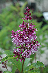 Royalty Preston Lilac (Syringa x prestoniae 'Royalty') at Millcreek Nursery Ltd