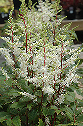 Rock And Roll Astilbe (Astilbe 'Rock And Roll') at Millcreek Nursery Ltd
