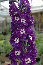 King Arthur Larkspur (Delphinium 'King Arthur') at Millcreek Nursery Ltd
