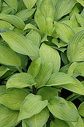 Gold Standard Hosta (Hosta 'Gold Standard') at Millcreek Nursery Ltd