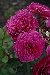 Ebb Tide Rose (Rosa 'Ebb Tide') at Millcreek Nursery Ltd
