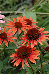 Big Sky Sundown Coneflower (Echinacea 'Big Sky Sundown') at Millcreek Nursery Ltd