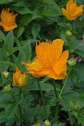 Golden Queen Globeflower (Trollius chinensis 'Golden Queen') at Millcreek Nursery Ltd