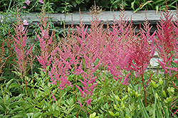 Visions in Pink Chinese Astilbe (Astilbe chinensis 'Visions in Pink') at Millcreek Nursery Ltd