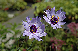 Cupid's Dart (Catananche caerulea) at Millcreek Nursery Ltd
