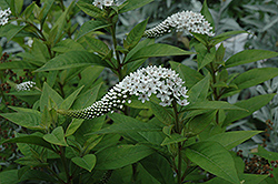Gooseneck Loosestrife (Lysimachia clethroides) at Millcreek Nursery Ltd