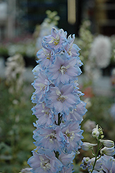 Magic Fountains Sky Blue Larkspur (Delphinium 'Magic Fountains Sky Blue') at Millcreek Nursery Ltd