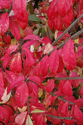 Fire Ball Burning Bush (Euonymus alatus 'Select') at Millcreek Nursery Ltd