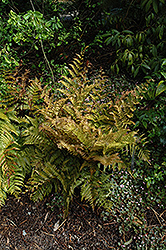 Autumn Fern (Dryopteris erythrosora) at Millcreek Nursery Ltd