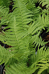 The King Ostrich Fern (Matteuccia 'The King') at Millcreek Nursery Ltd