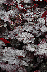 Amethyst Mist Coral Bells (Heuchera 'Amethyst Mist') at Millcreek Nursery Ltd