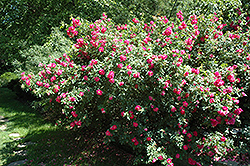 John Cabot Explorer Rose (Rosa 'John Cabot') at Millcreek Nursery Ltd