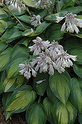 June Hosta (Hosta 'June') at Millcreek Nursery Ltd