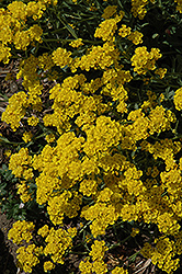 Basket Of Gold Alyssum (Aurinia saxatilis) at Millcreek Nursery Ltd