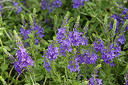Crater Lake Blue Speedwell (Veronica austriaca 'Crater Lake Blue') at Millcreek Nursery Ltd