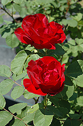 Emily Carr Rose (Rosa 'Emily Carr') at Millcreek Nursery Ltd