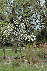 Toka Plum (Prunus 'Toka') at Millcreek Nursery Ltd