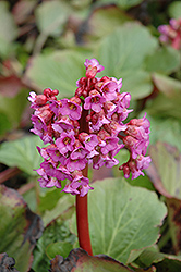Heartleaf Bergenia (Bergenia cordifolia) at Millcreek Nursery Ltd