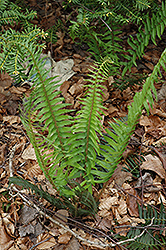 Deer Fern (Blechnum spicant) at Millcreek Nursery Ltd