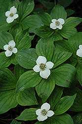 Bunchberry (Cornus canadensis) at Millcreek Nursery Ltd