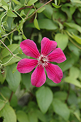Allanah Clematis (Clematis 'Allanah') at Millcreek Nursery Ltd