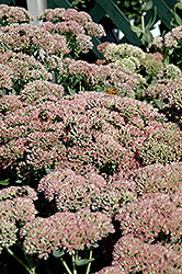 Autumn Fire Stonecrop (Sedum spectabile 'Autumn Fire') at Millcreek Nursery Ltd