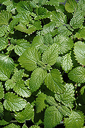 Lemon Balm (Melissa officinalis) at Millcreek Nursery Ltd
