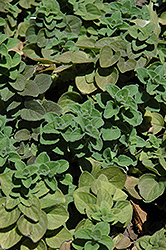 Hot And Spicy Oregano (Origanum 'Hot And Spicy') at Millcreek Nursery Ltd