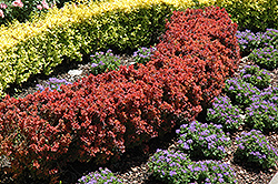 Royal Burgundy Japanese Barberry (Berberis thunbergii 'Gentry') at Millcreek Nursery Ltd