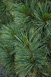 Algonquin Pillar Swiss Stone Pine (Pinus cembra 'Algonquin Pillar') at Millcreek Nursery Ltd