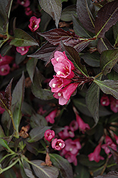 Spilled Wine Weigela (Weigela florida 'Bokraspiwi') at Millcreek Nursery Ltd