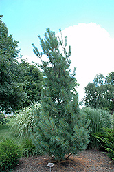 Columnar White Pine (Pinus strobus 'Fastigiata') at Millcreek Nursery Ltd