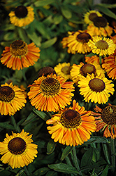 Short 'n' Sassy Sneezeweed (Helenium 'Short 'n' Sassy') at Millcreek Nursery Ltd