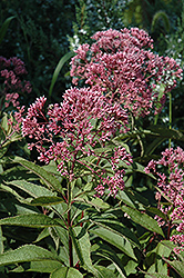 Gateway Joe Pye Weed (Eupatorium maculatum 'Gateway') at Millcreek Nursery Ltd