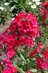 Red Flame Garden Phlox (Phlox paniculata 'Red Flame') at Millcreek Nursery Ltd