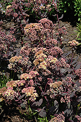 Yellow Xenox Stonecrop (Sedum 'Yellow Xenox') at Millcreek Nursery Ltd