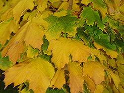 Columnar Norway Maple (Acer platanoides 'Columnare') at Millcreek Nursery Ltd