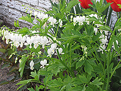 White Bleeding Heart (Dicentra spectabilis 'Alba') at Millcreek Nursery Ltd